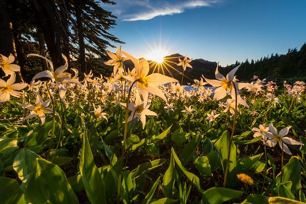 Lying Low In Avalanche - Spray Park,  Mount Rainier National Park, Washington