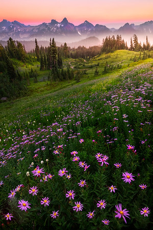 Aster Twilight Heaven On Mt Rainier - Dead Horse Creek Trail, Mount Rainier National Park, WA
