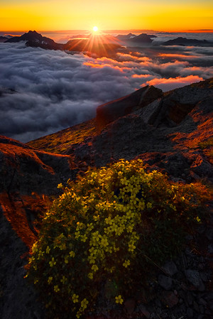 Sunset Yellow Glow On Flowers - Mt Fremont Fire Lookout, Mount Rainer National Park, WA