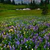 Lupine Valleys Of Purple Leading Into Tipsoo Lake - View Of Tipsoo Lake And Mt Rainier - Upper Tipsoo Lake, Mt Rainier National Park, WA
