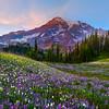 Rolling Meadows Of Lupine - Van Trump Park, Mount Rainier National Park, WA