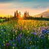 Sunburst Through The Trees - Mazama Ridge, Paradise Meadows, Mount Rainier National Park, WA