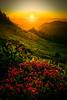 Heather Flowers Last Light -Tolmie Peak, Mount Rainier National Park, WA