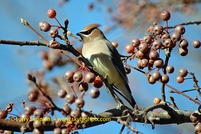 Cedar Waxwing feeding on ornamental pear tree, December 2008, Image# 011