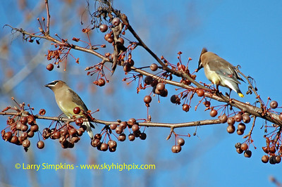 Cedar Waxwings feeding on ornamental pear tree, December 2008, Image# 003