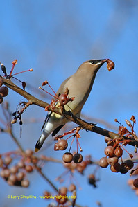 Cedar Waxwing feeding on ornamental pear tree, December 2008, Image# 002
