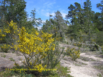 Sand dune Gorse bushes, North Bend, OR. May 2008 Image# 032
