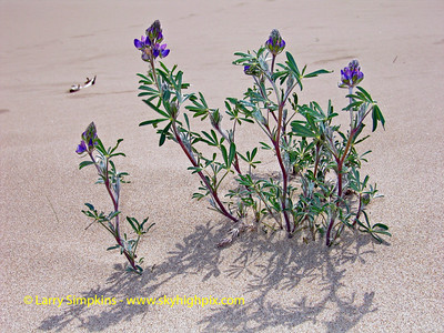 Sand dune flowers, North Bend, OR. May 2008 Image# 030