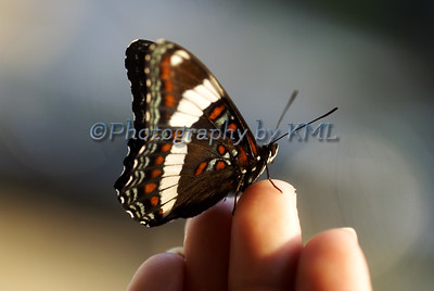 Brown Tiger Swallowtail Butterfly
