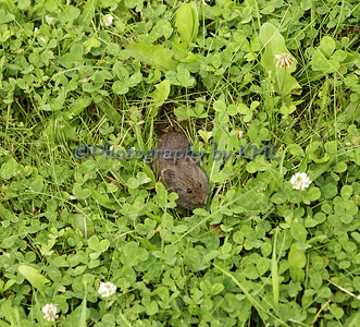 a gray mouse in the clover