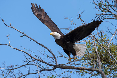 Eagles at Lake Waco 2018