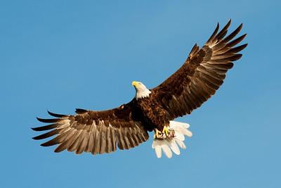 Lake Waco Bald Eagle family  7-10-2014