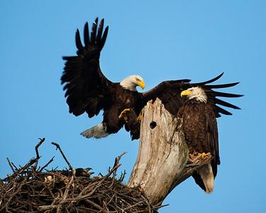Lake Waco Bald Eagle family 6-13-2014