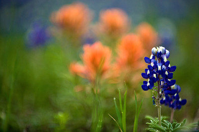 Bluebonnets with a splash of Indian Paintbrush