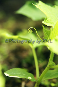 a curling vine of a cucumber plant