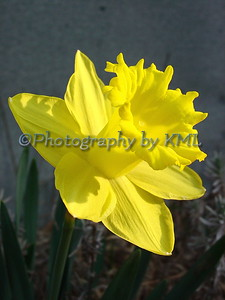 bright yellow daffodil in the spring