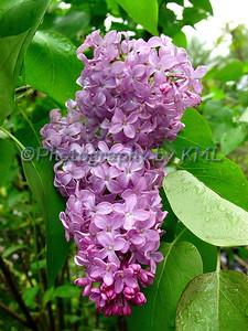 Wet Purple Lilacs