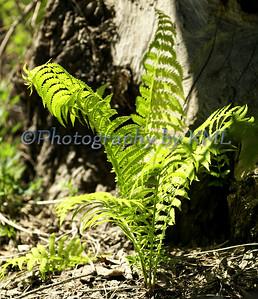 Spring Green Ferns