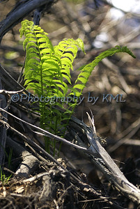 Young Ferns