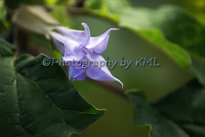 Purple Jimson Weed Bloom