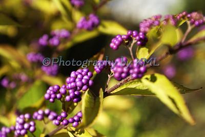 A Spray of Round Purple Flowers
