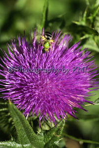 Purple Thistle with a Bee