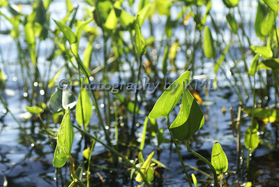 Green Swamp Weeds