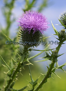 Purple Thistle Against the Sky