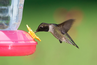 A good day of photographing hummers in my yard.