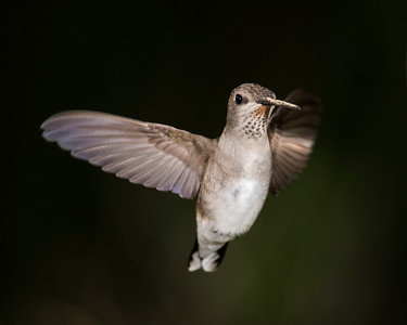 Hummingbirds 2018