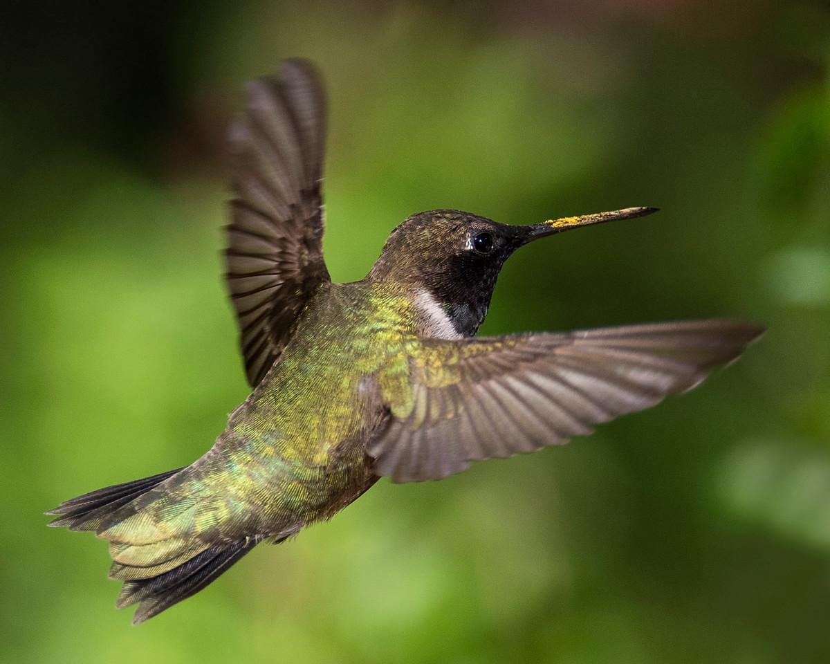Hummingbirds 2018