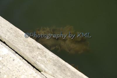 Seaweed Under the Dock