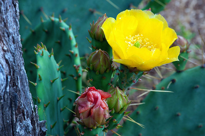 A Prickly Pear Cactus Bloom