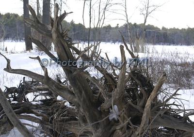 Tumbled Tree Roots