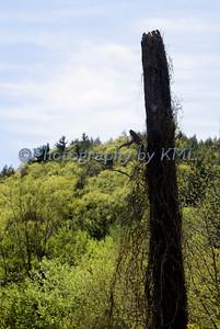 Vine Covered Tree
