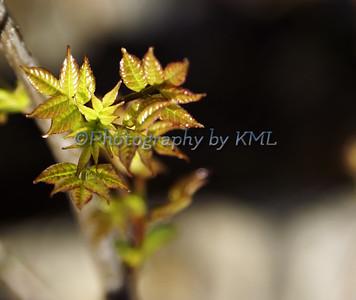 Small Sumac Leaves