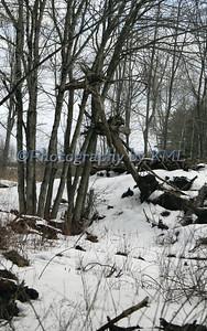 Upturned Tree