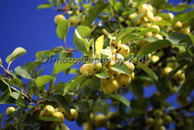 Yellow Berries and Blue sky