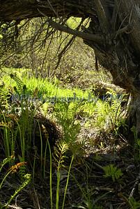 Ferns Under a Tree