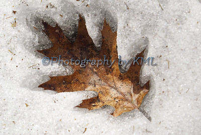 Oak Leaf Impression