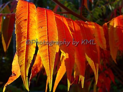 Orange Sumac Leaves