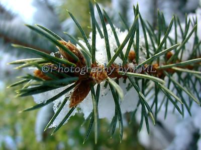 Spruce Needles Macro