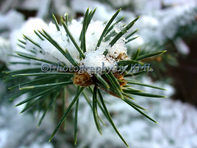 Spruce Needles with Snow