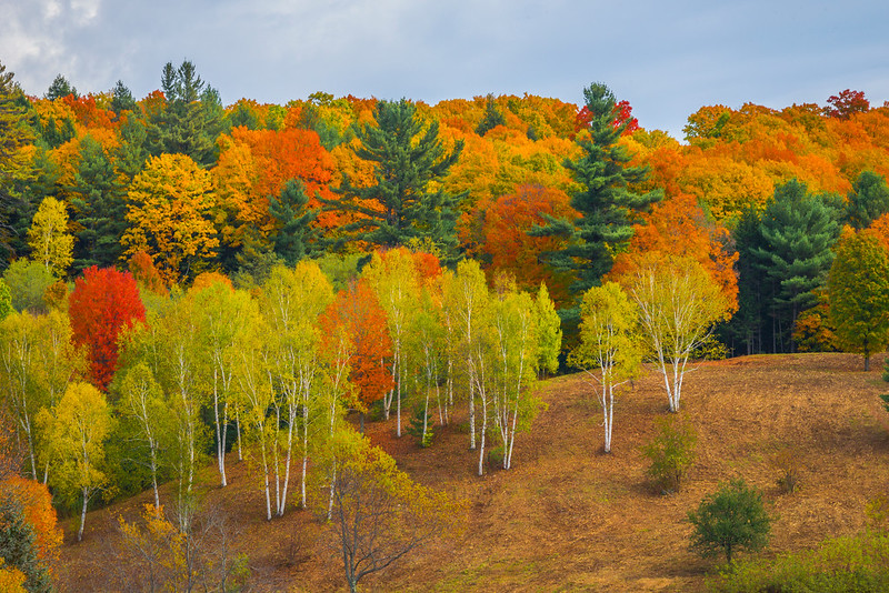 A Grove Of Autumn Color High On The Hill