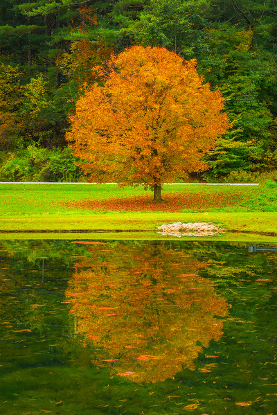 The Lone Orange Tree Reflected In The Pond