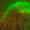 Birch Tree Explosion -Chena Hot Springs Resort, Fairbanks, Alaska