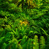 Sea Of Green - Hoh Rain Forest, Olympic National Park, WA