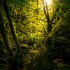 Sunglow Shining Through Mossy Forest - Hoh Rain Forest, Olympic National Park, WA