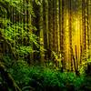 A Burst Of Morning Light - Hoh Rainforest, Olympic National Park, Washington
