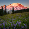 Morning Light On Mt Rainier In Sunrise Meadow - Mount Rainier National Park, WA